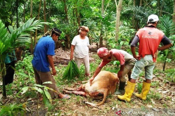 Sapi warga ditemukan mati penuh luka, diduga dimangsa harimau