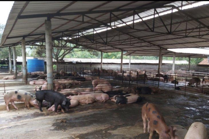 Distan Banten waspada penyakit hewan demam babi Afrika
