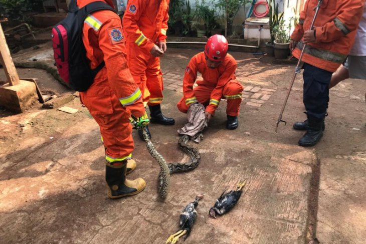 Dari dalam kandang ayam, petugas Damkar Jaktim evakuasi ular sanca