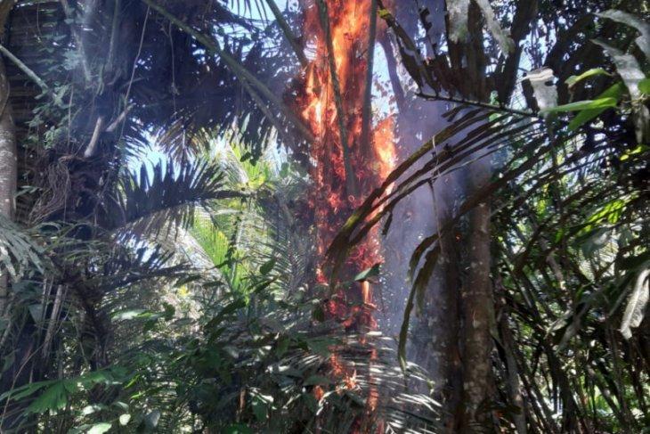Polisi musnahkan puluhan pohon enau di Kabupaten Pulau Morotai