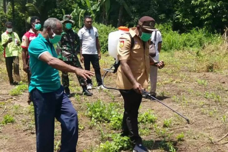 Ratusan hektare tanaman di Flores Timur terserang hama ulat