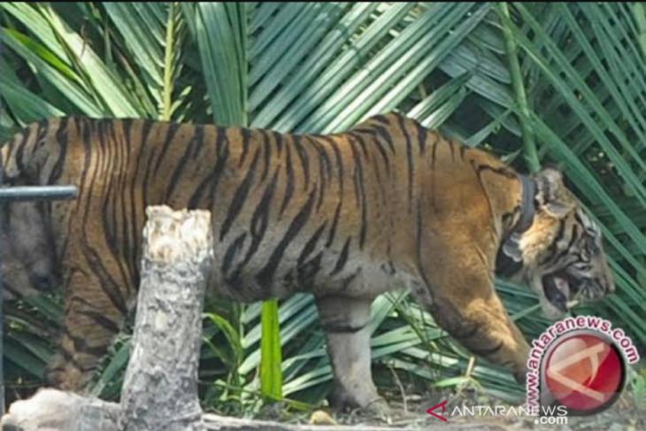 Warga resah, ada harimau mangsa sejumlah sapi