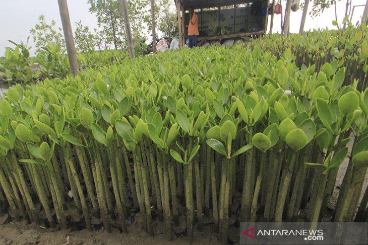 Budidaya bibit mangrove