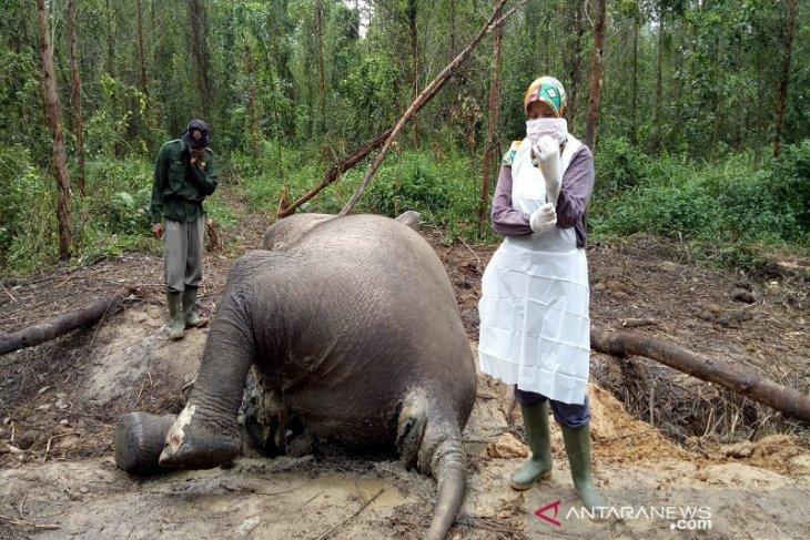 BBKSDA Riau ungkap penyebab kematian gajah  di Bengkalis