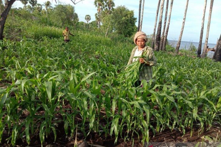 Hasil panen petani Flores Timur menurun akibat ulat grayak