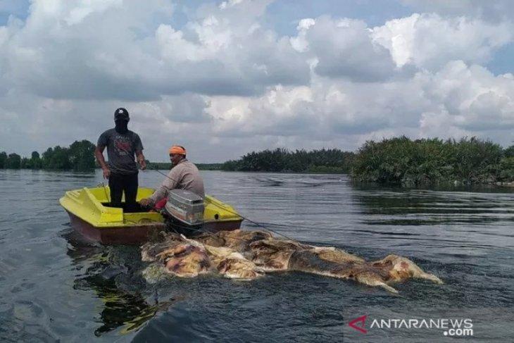 48 ribu ekor babi mati akibat virus Hog Cholera dan ASF