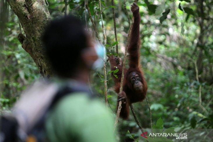 BKSDA lepasliarkan orangutan ke Cagar Alam Jantho