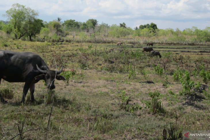 Dozens of cattle in East Sumba starve to death