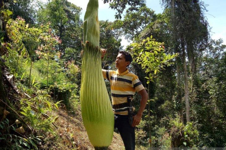 Bunga bangkai setinggi 2,5 meter ditemukan di Agam