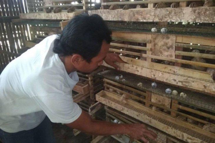 Pembudidaya telur puyuh di Lebak butuh modal