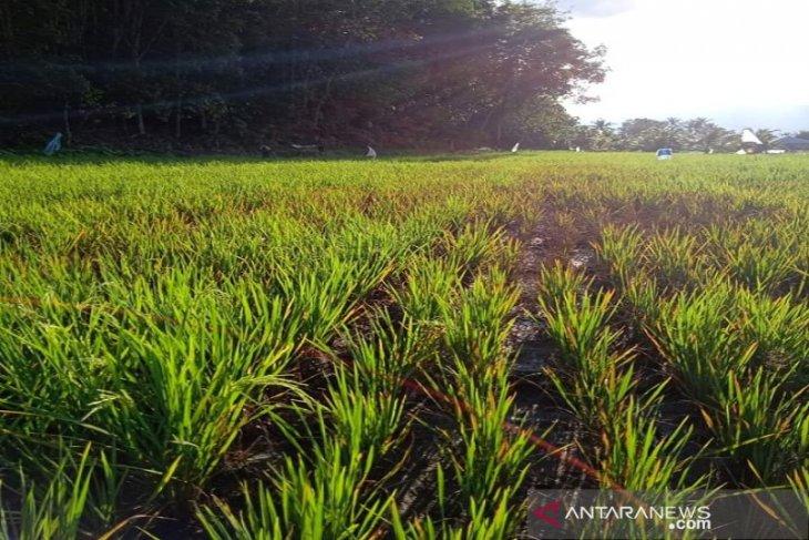 Hama wereng mulai serang tanaman padi di Tapsel
