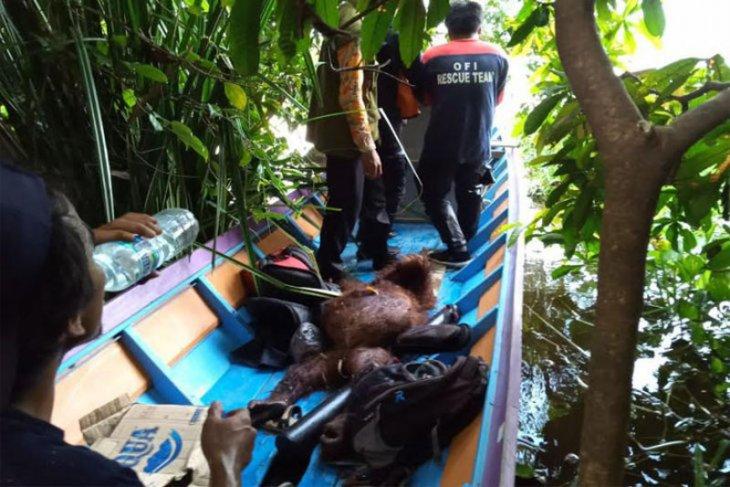 BKSDA evakuasi dua orang utan berkeliaran dekat kebun warga
