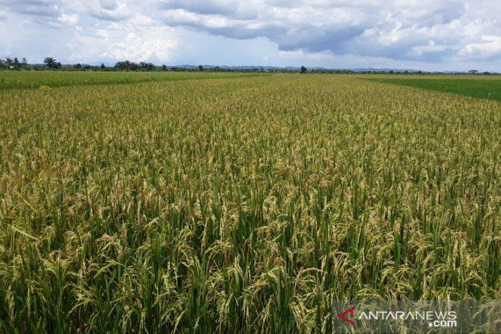 Produksi padi Sumut 2019 turun 1,39 persen