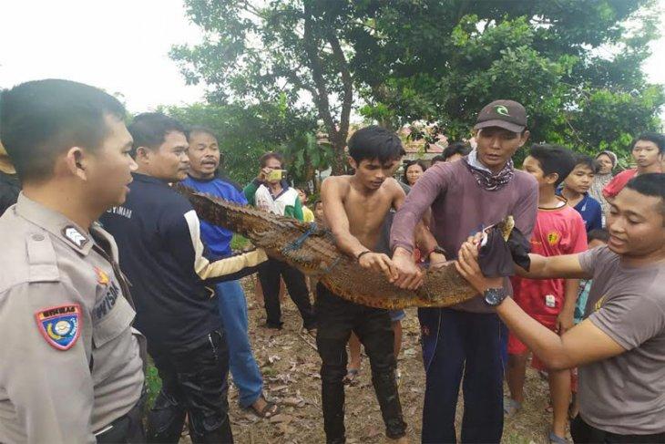 Satu buaya masuk ke pemukiman warga Desa Palangan memangsa ternak
