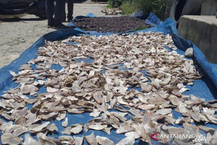 Permintaan ekspor olahan sirip ikan hiu menurun akibat wabah COVID-19