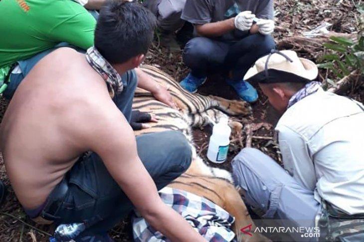 Tembus jalanan berat, BBKSDA Riau selamatkan harimau sumatera yang terjerat,