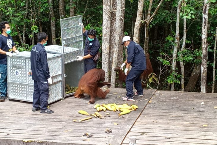 Three orangutans released into Tanjung Puting National Park