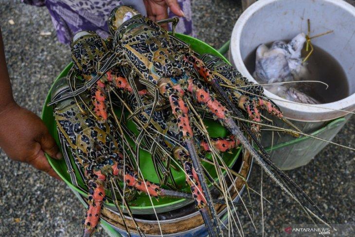 KKP: Pembudidayaan lobster lebih baik dibanding mengekspor benih