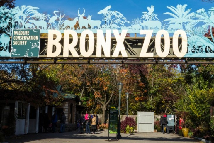 Harimau di Kebun Binatang New York terkena corona