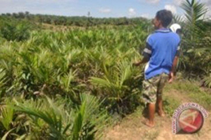Kelapa sawit serta karet andalan perekonomian Tanah Bumbu