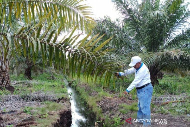 Budidaya kelapa sawit di lahan ramah lingkungan