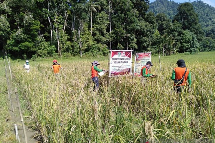 Pemkab Landak gandeng Batan perbaiki kualitas padi lokal