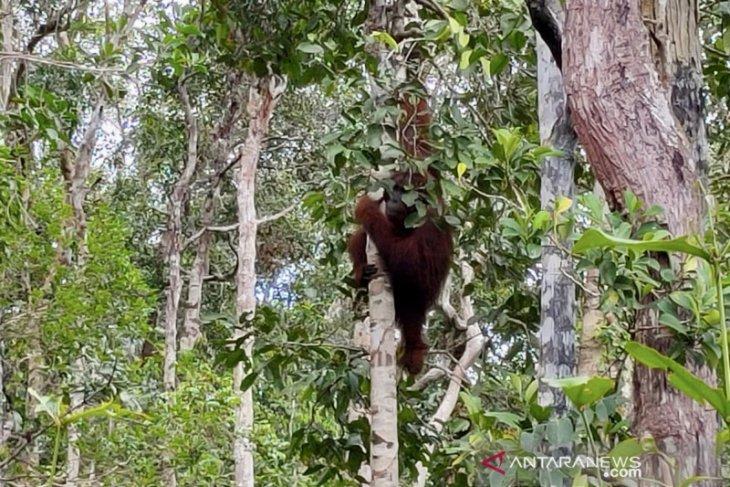 31 orangutan dilepasliarkan ke sejumlah kawasan konservasi sejak Januari