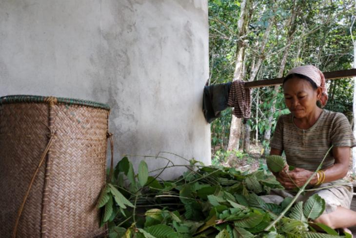 Pandemi COVID -19 warga Kapuas Hulu bergantung hidup pada tanaman kratom