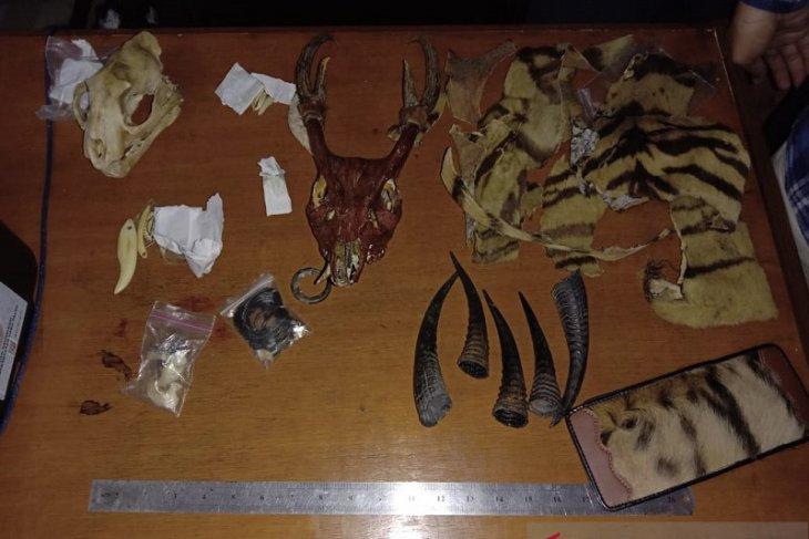 Police apprehend Jambi resident illegally trading Sumatran tiger skin