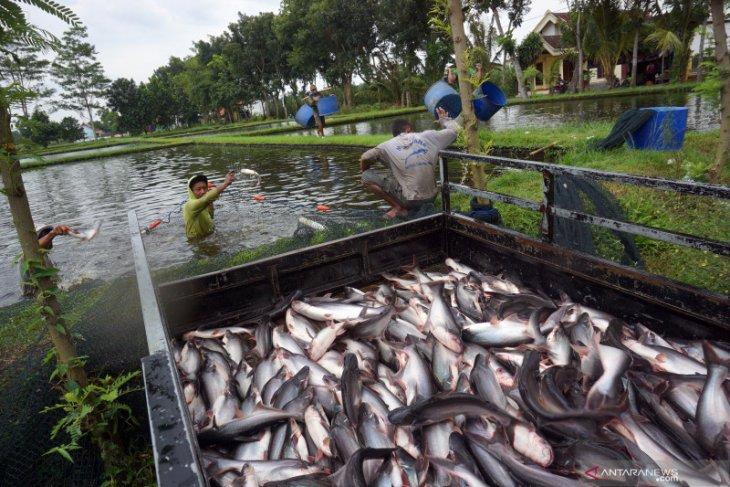 Petani ikan Pekanbaru panen 2,5 ton patin
