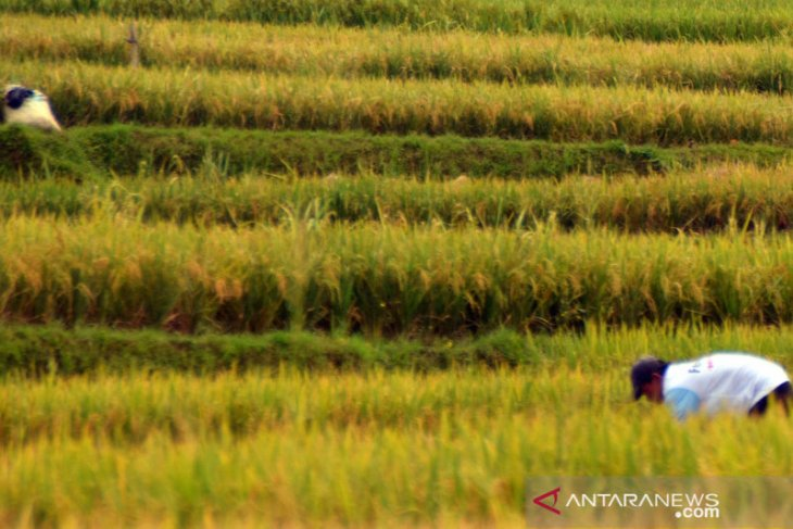 Petani Karawang tetap semangat bertani di tengah pandemi virus corona