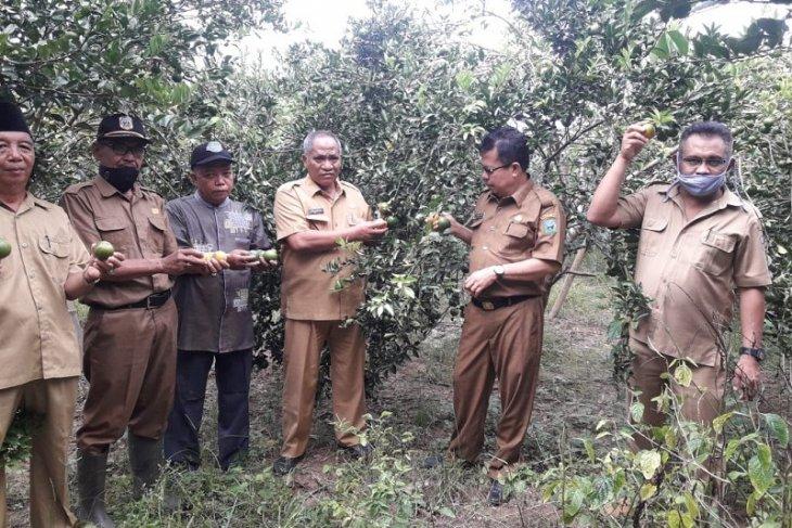 Panen jeruk siam banjar petani Sarolangun melimpah berkat sinergi dengan penyuluh