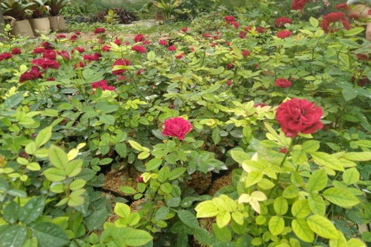 Tambah koleksi Kebun Raya Cibodas, Balitbangtan serahkan benih mawar