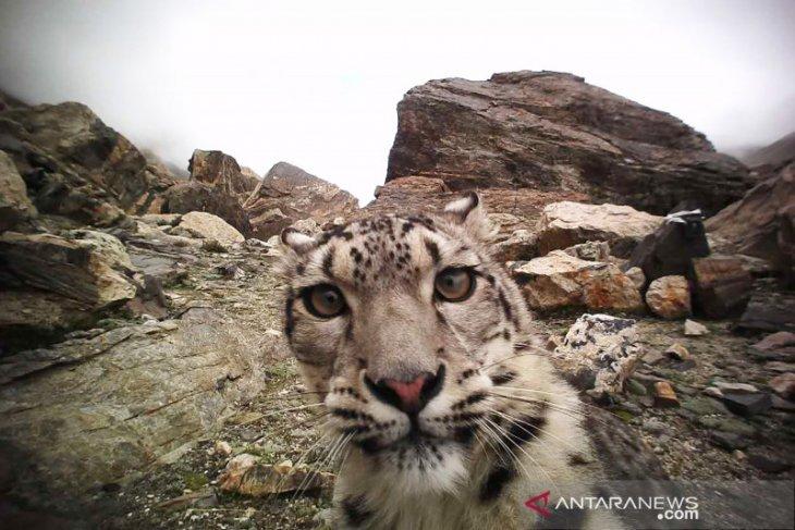 Kawanan macan tutul salju berkeliaran di dekat kota di Kazakhstan saat