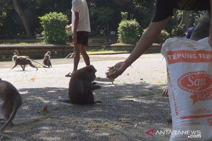 Puluhan warga Bali bagikan makanan kepada 1.500 monyet