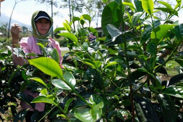 Panen teh Jawa