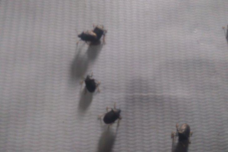 Kumbang Lembing serang pemukiman warga Labuhanbatu