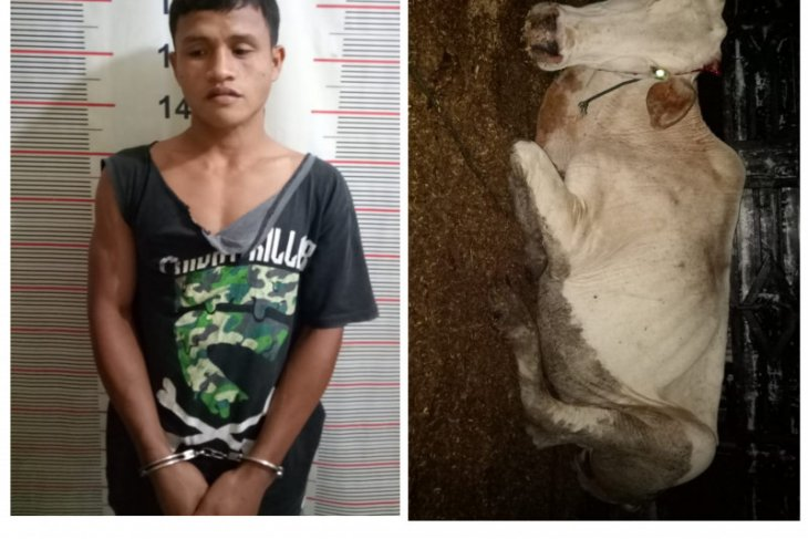 Polisi Salapian Langkat tangkap karyawan kebun pencuri lembu
