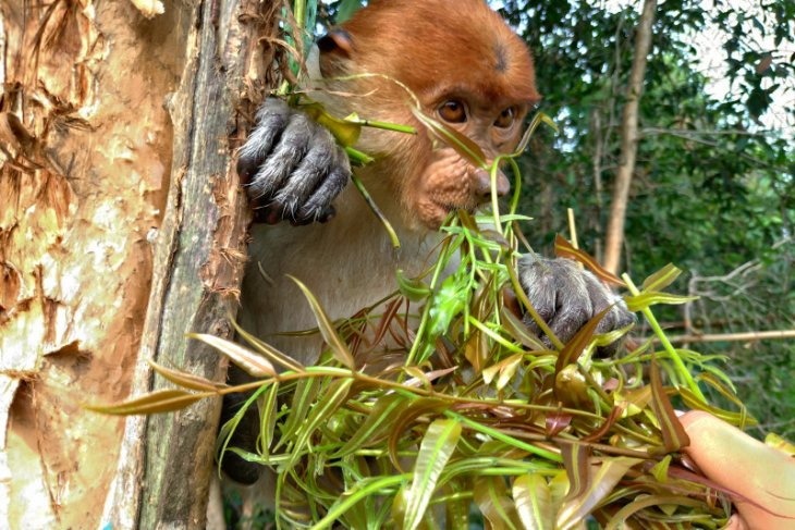 Sempat di huni 250 ekor, Ekowisata Lokbuntar kini di huni 15 ekor Bekantan