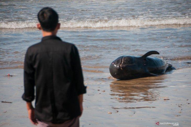 Seekor paus mati terdampar di Pantai Cemara