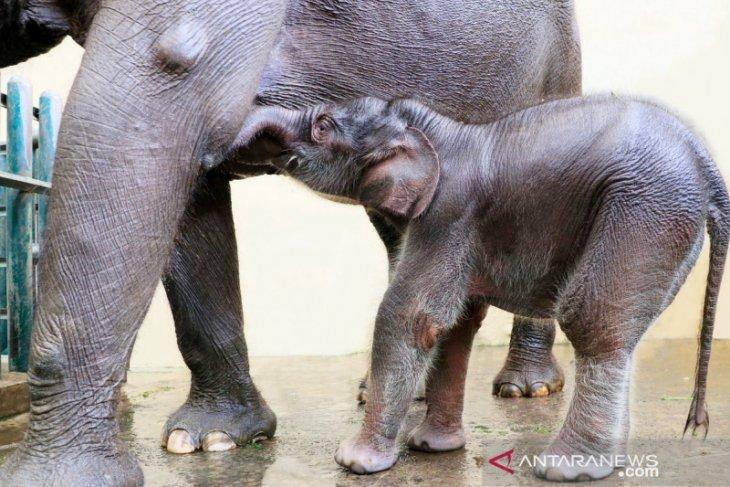 Lahir di tengah pandemi, seekor bayi gajah diberi nama Covid