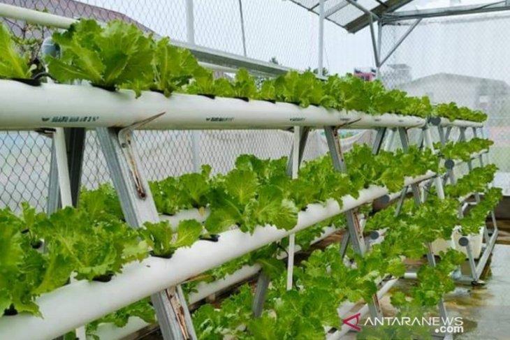 Bertanam sayuran hidroponik solusi tetap aman saat pendemi COVID-19