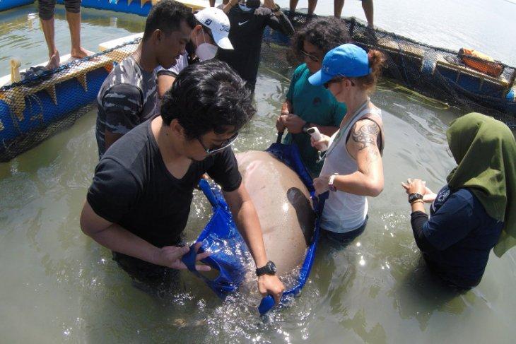 BKSDA Kalbar dan Pemerhati lingkungan lepasliarkan satu ekor dugong
