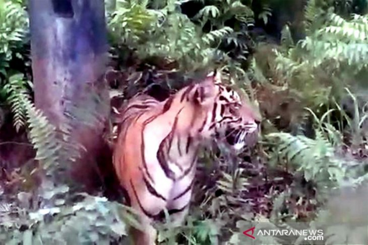 Warga kembali diresahkan munculnya kawanan harimau