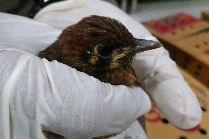 Balai Karantina Surabaya gagalkan penyelundupan ratusan burung punglor