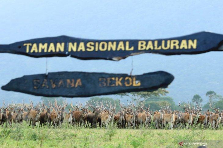 Dampak pandemi  di Taman Nasional Baluran