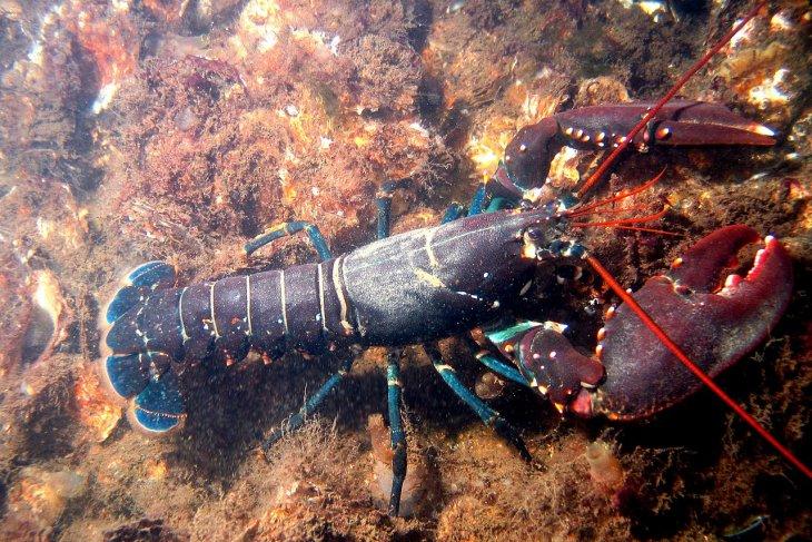 KPPU minta ada transparansi dalam penentuan eksportir lobster