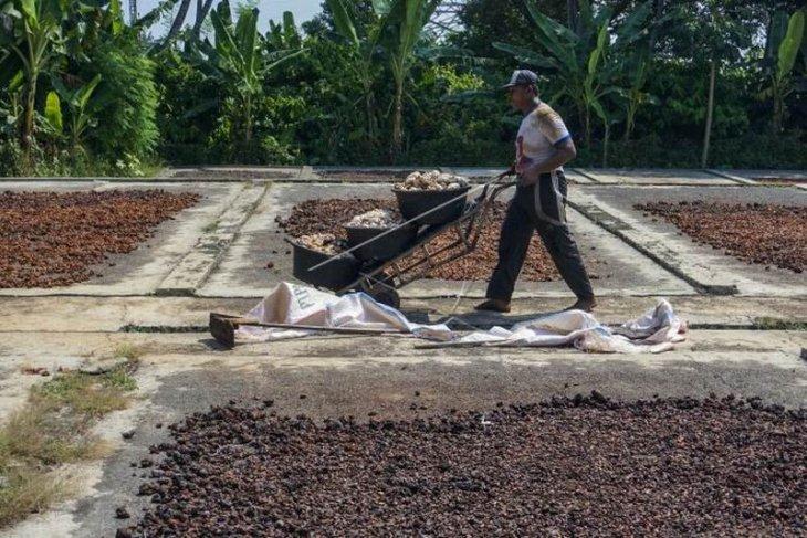 Panen raya kakao