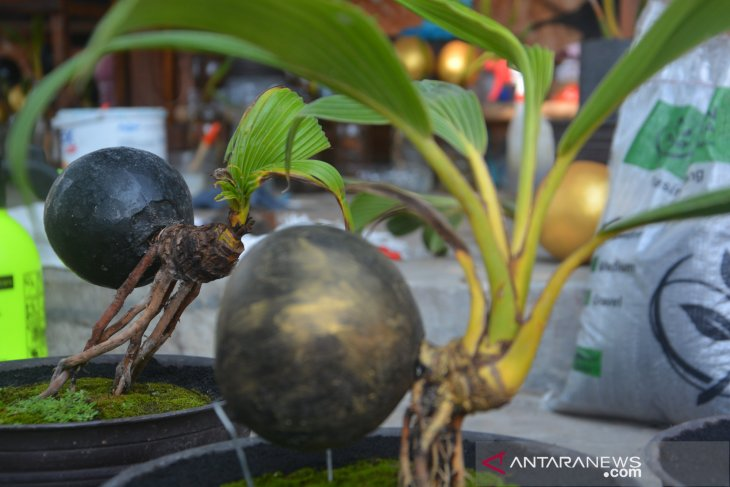 Bonsai Kelapa Antara News Jawa Timur