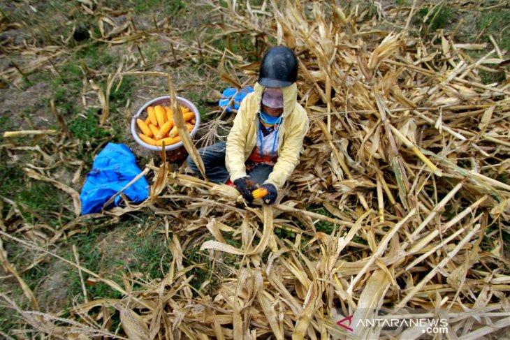Permintaan komoditi jagung Gorontalo pasar dalam negeri meningkat